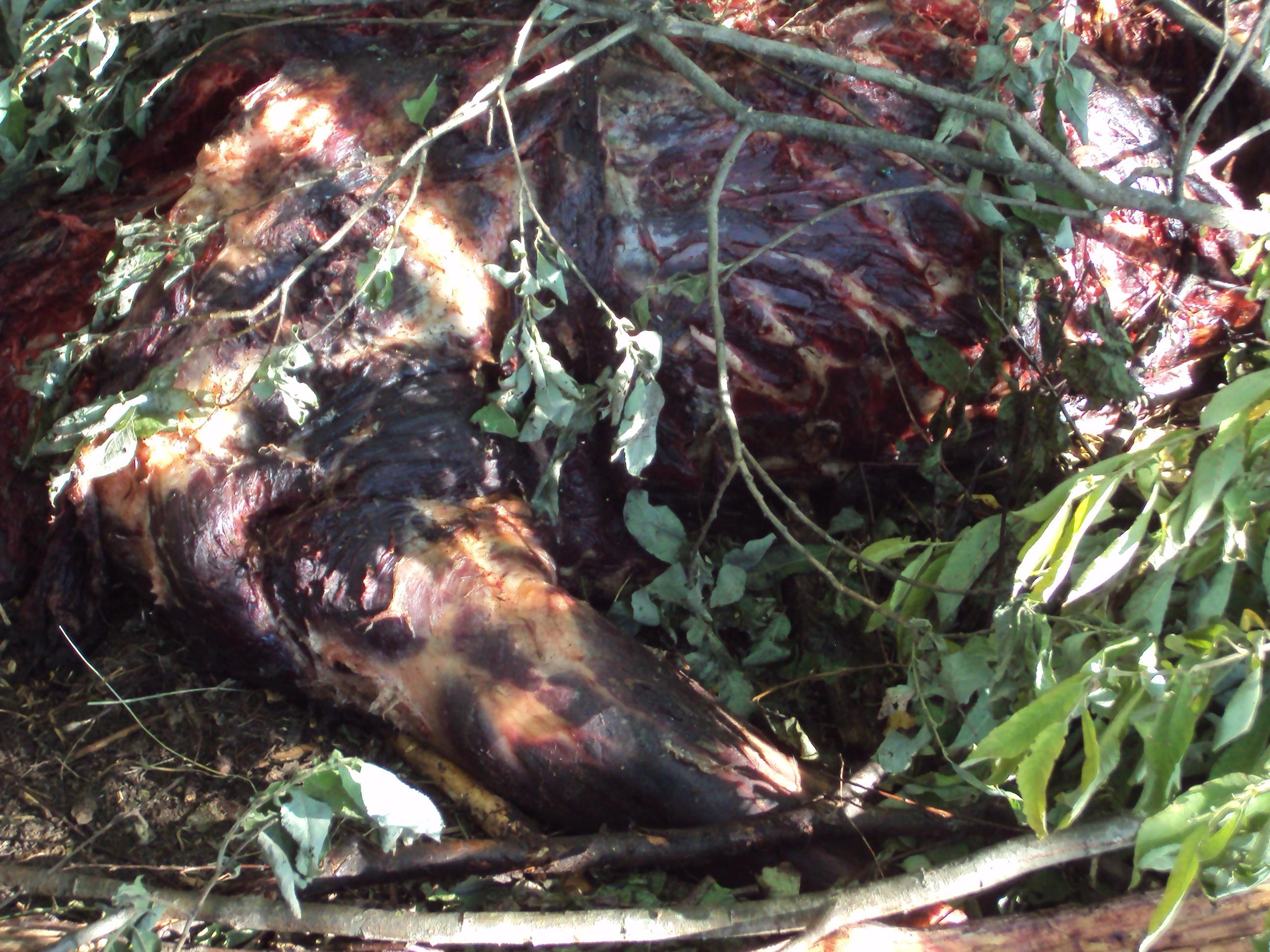 Шкура убитого медведя 18 фотография